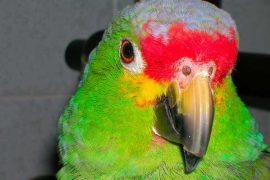 la muta degli uccelli