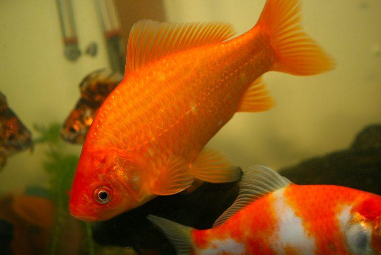 pesce da laghetto rosso
