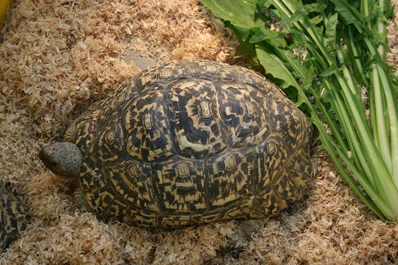 Come tenere le tartarughe di terra consigli e - Pagine di colorazione tartaruga ...