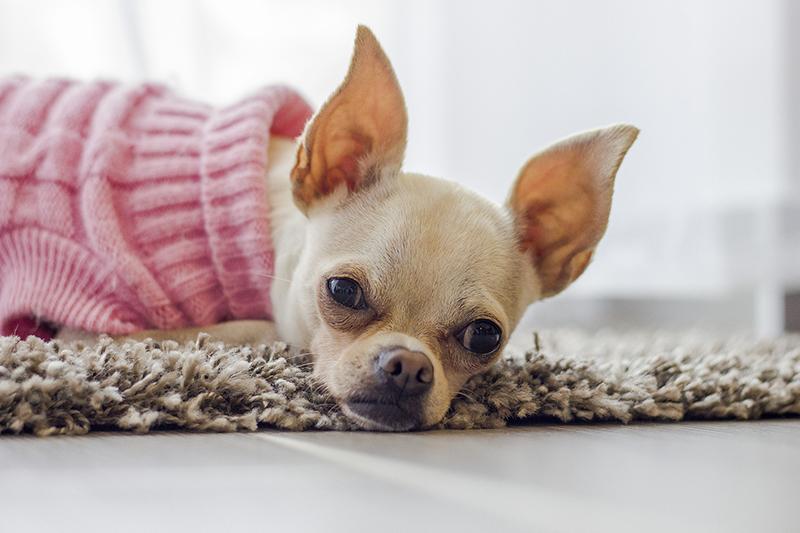 Vestiti per cani come scegliere quello giusto - Zampotta 94b128dd3912